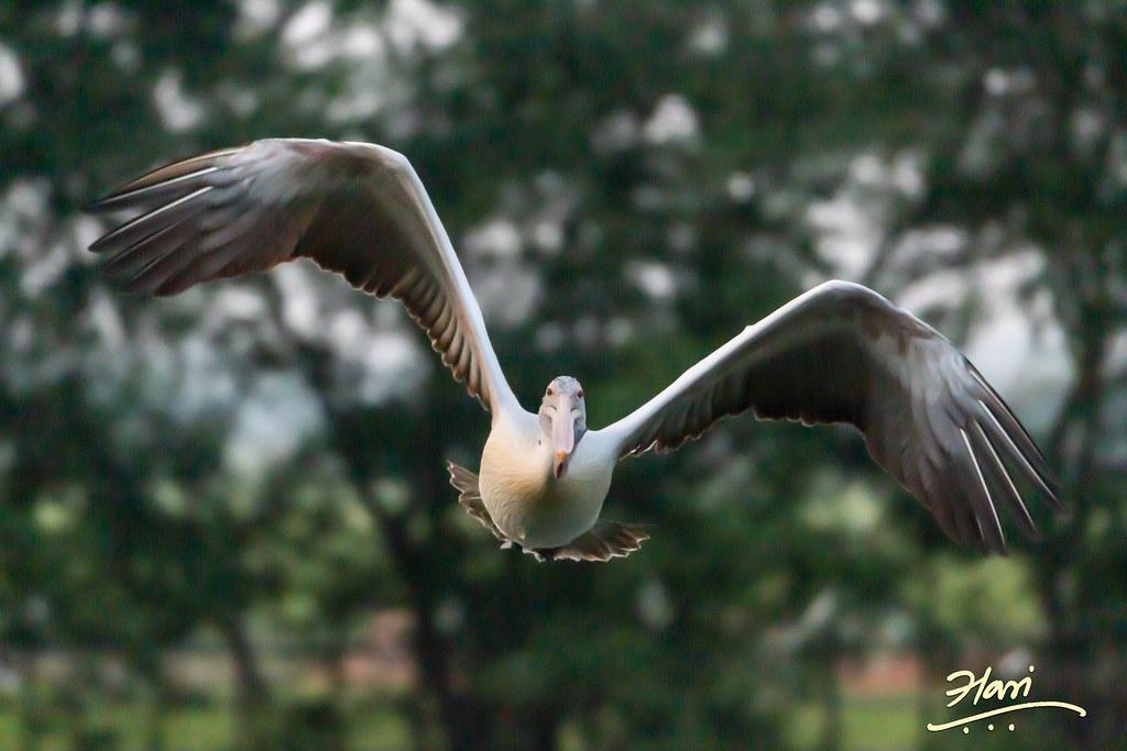 A Spot Billed Pelican Taking Off
