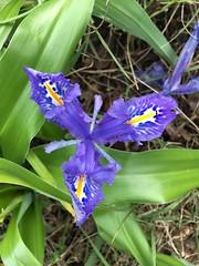 Iris nain - Photo of Corneilla-la-Rivière