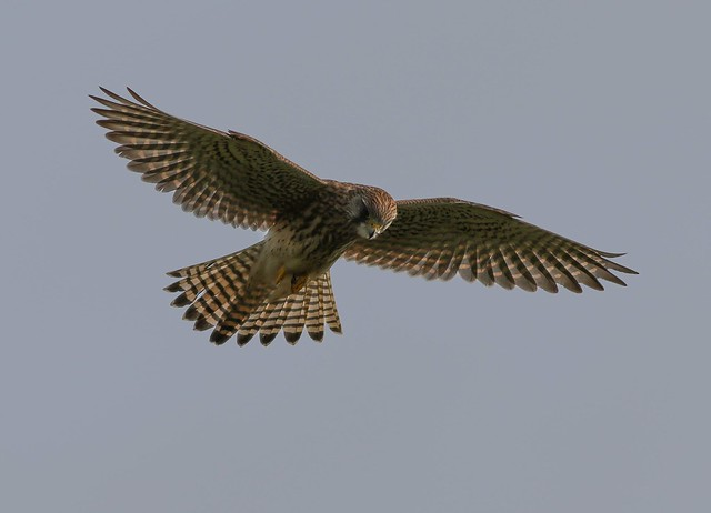 Kestrel, Canon EOS 7D MARK II, Canon EF 400mm f/5.6L