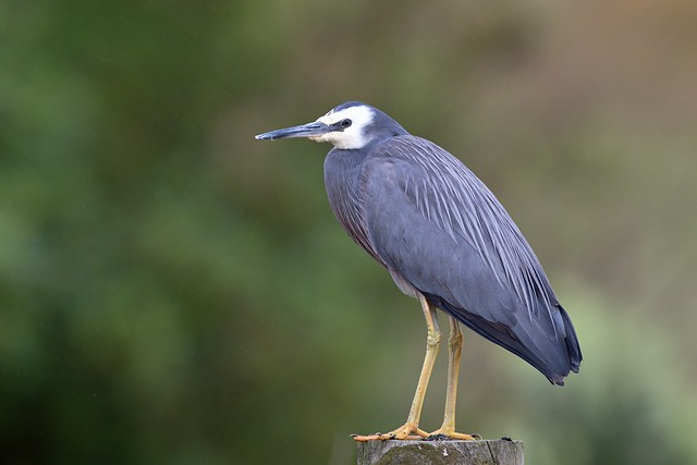 White-faced heron, Canon EOS 5D MARK IV, Canon EF 600mm f/4L IS