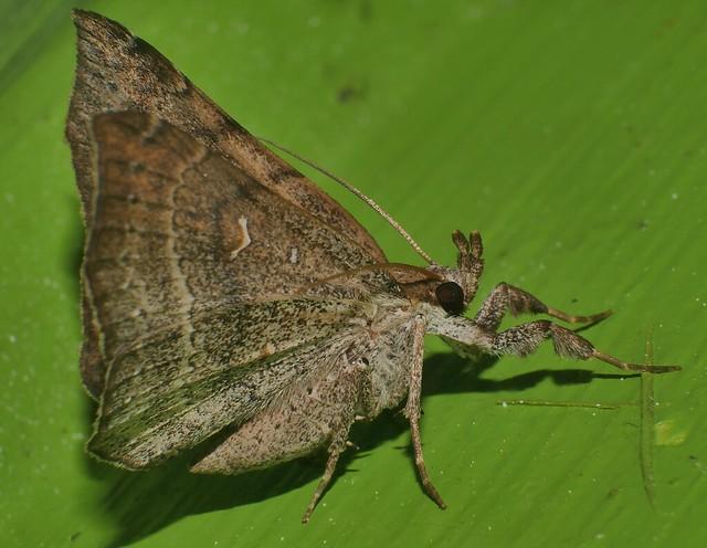 Mantis leg Funnel wings moth Bematha extensa Pangraptinae Erebidae Airlie Beach rainforest P1460490