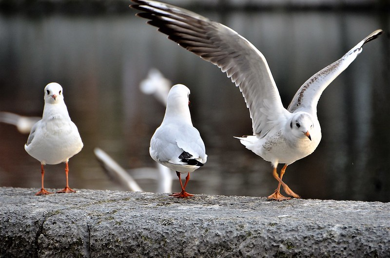 Gulls 01.12 (4)