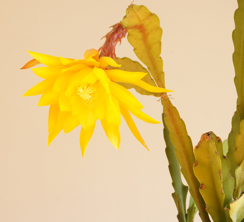 yellow orch-cactus2