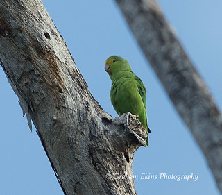 Green-rumped Parrotlet, Elaine's Chateau, Sandy Ground, Jamaica,