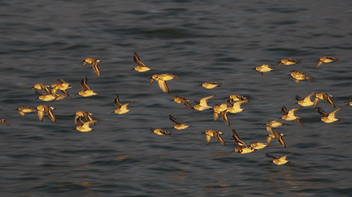 Sandpipers Soaring