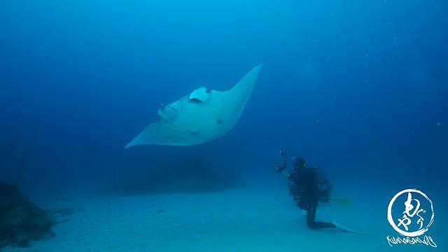 白い砂地の上を泳ぐマンタ(水深28m)