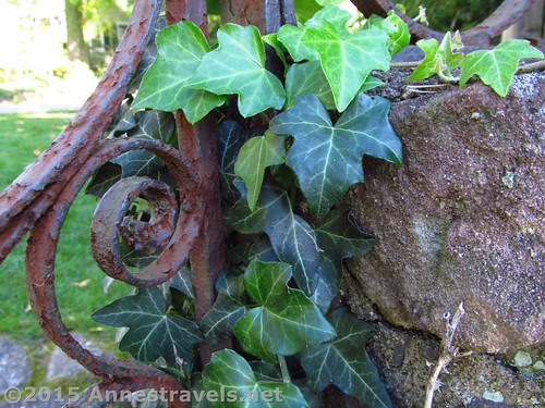 Ivy on the Gate