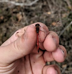 Autumn Meadowhawk (Sympetrum vicinum).