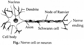 NCERT Solutions for Class 9 Science Chapter 6 Tissues 2