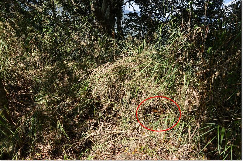大肚關山基點被矮箭竹覆蓋