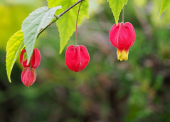 Brazilian bellflower (Abutilon megapotamicum, アブチロン)