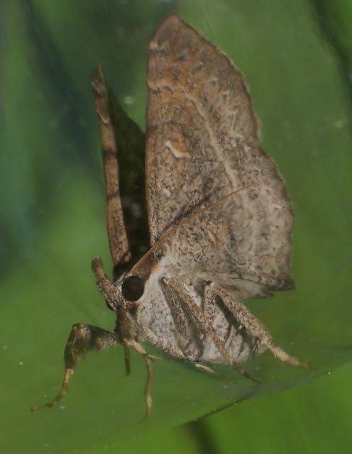 Mantis leg Funnel wings moth Bematha extensa Pangraptinae Erebidae Airlie Beach rainforest P1460495