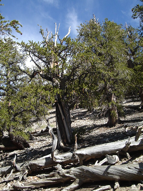 Ancient Bristlecone 052