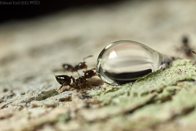 Crematogaster ant drinking water droplet after a rain