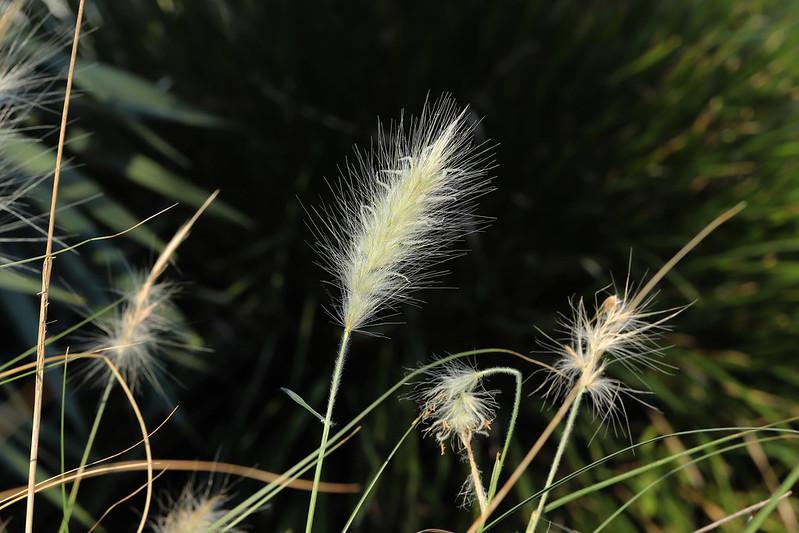 Pennisetum villosum  ギンギツネ