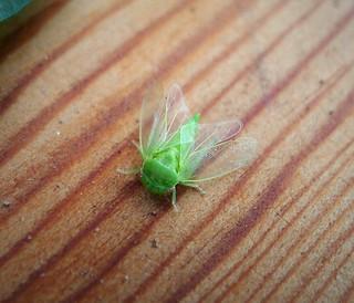 Iassus scutellaris probably