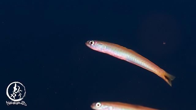 とってもキレイな色だったオグロクロユリハゼ幼魚ちゃん♪
