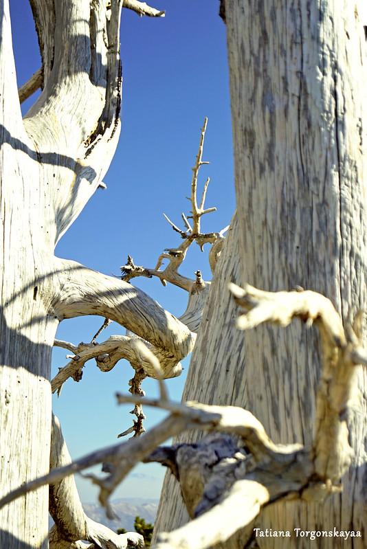 Стволы и ветви мертвых сосен