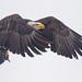 Bald Eagle (Haliaeetus leucocephalus) by Don Delaney