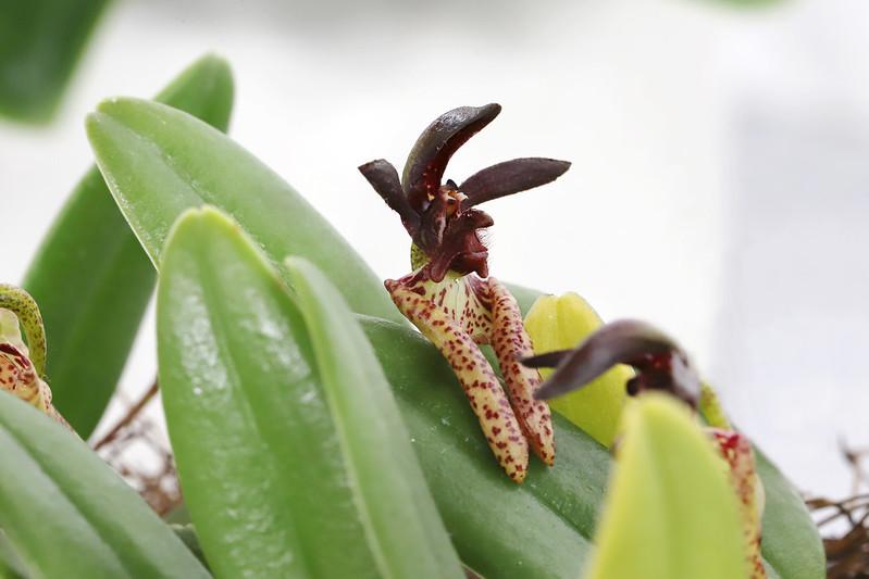 Bulbophyllum lasiochilum  バルボフィラム・ラシオキラム