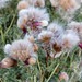 Dandelion Seed Heads- Thurso Castle, Scotland. UK.