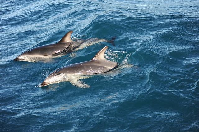 Dusky dolphin synchrony, Nikon D700, AF VR Zoom-Nikkor 80-400mm f/4.5-5.6D ED