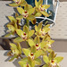 Cymbidium Unknown [Father Michael 8] hybrid orchid