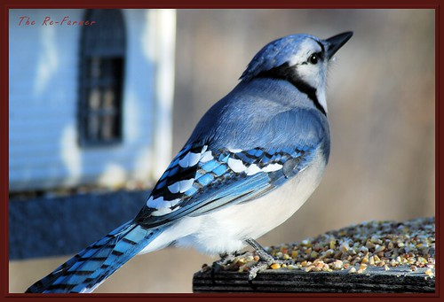 2018-12.birds.bluejay2