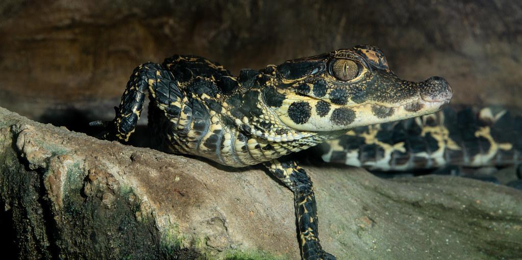West African Dwarf Crocodile_2