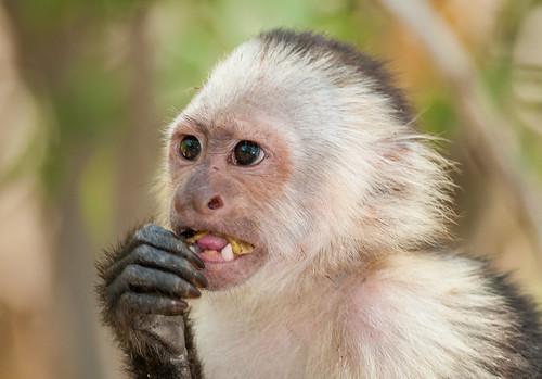 whitefacedcapuchin cebusimitator orderprimates monkey neotropical paloverdenationalpark guanacaste costarica animalplanet