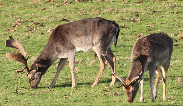 Fallow Deer(Dama dama)