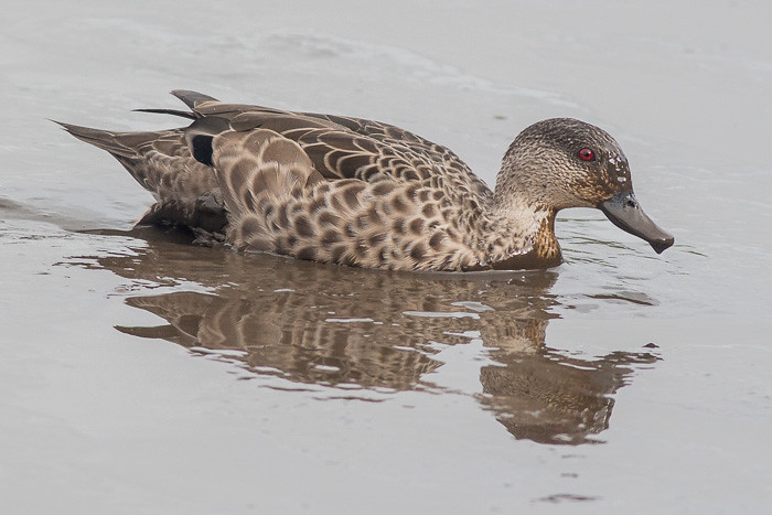Chestnut Teal maybe
