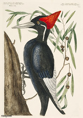 Ivory-billed Woodpecker (Campephilus principalis) from The Natural History of Carolina, Florida, and the Bahama Islands (1754) by Mark Catesby (1683-1749).