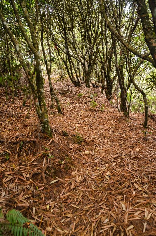 烏石坑山杜鵑林 1
