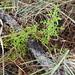 Staghorn Club-Miss (Lycopodiella cernua) by Florida Native Plant Society