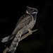 Great eared nightjar by RAYEES RAHMAN