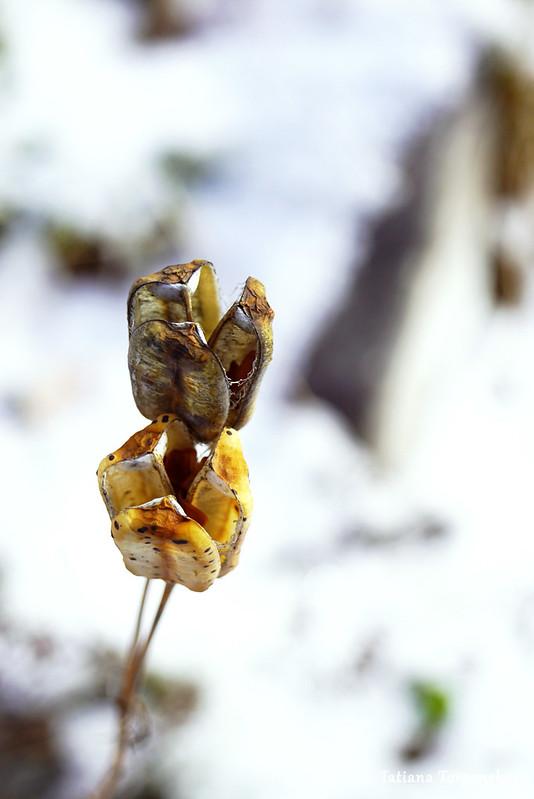 Высохшее растение на фоне снега