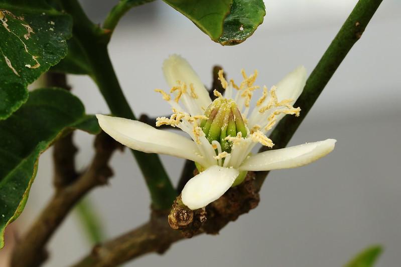 Citrus medica var. sarcodactylus  ブッシュカン