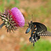 Pipevine swallowtail on musk thistle (Battus philenor) by Vicki's Nature