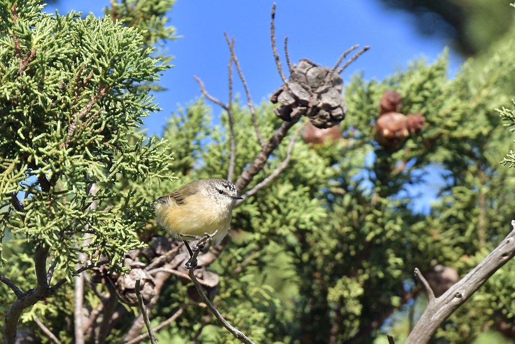 Yellow- rumped Thornbill