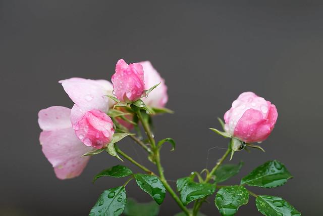 Rose, Nikon D500, AF-S VR Nikkor 400mm f/2.8G ED