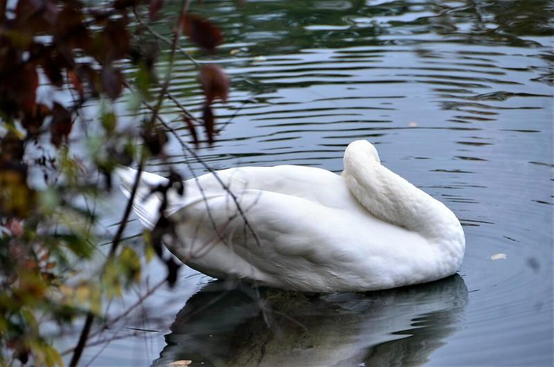 Swan 03.11 (4)