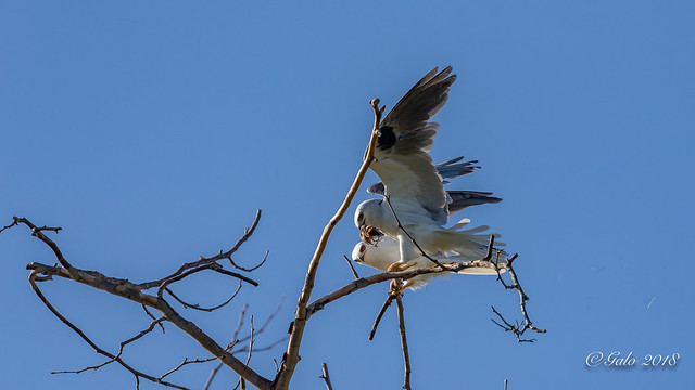 Élanion à queue blanche / White-tailed Kite / Elanus leucurus