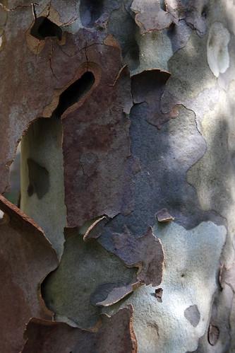 Eucalyptus shedding time