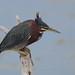 Green Heron by Hammerchewer