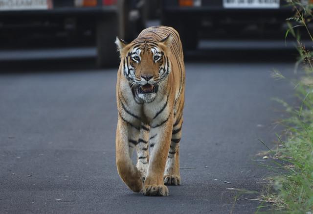 Bengal tigress, Nikon D5600, AF-S Nikkor 200-500mm f/5.6E ED VR