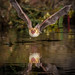 12 Pallid Bat Coming for Water - 1st Place Published Images - Frank Zurey