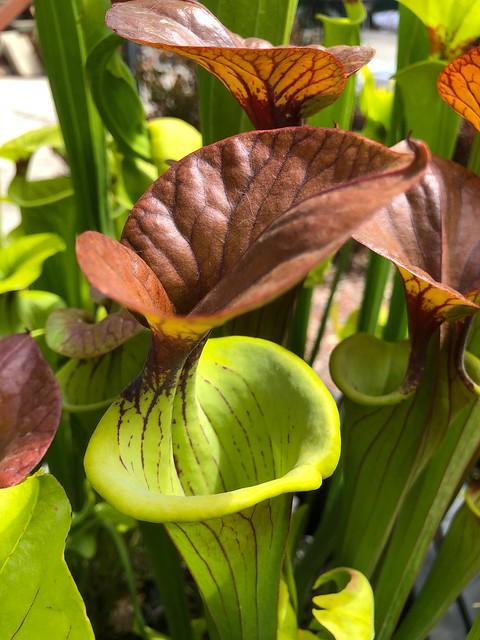 Sarracenia flava var. cuprea 'Ross Rowe'