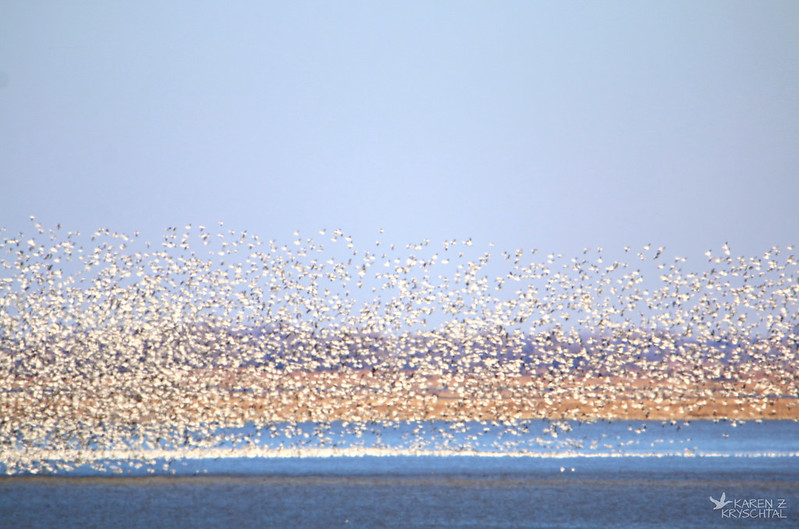 IMG_8372SnowGeese