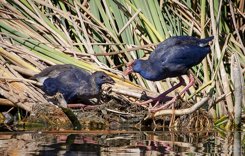 Purple Swamphen and Chick IMG_2790
